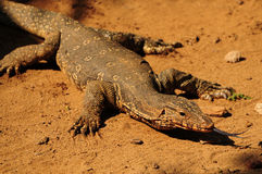 Adult Monitor lizard. Extending its tongue while hunting for food stock photo