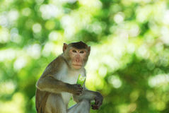 The adult monkey Royalty Free Stock Photo