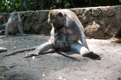 Adult monkey feeds baby Stock Image