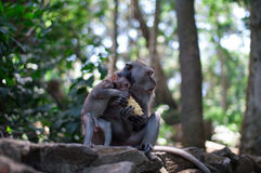 Adult monkey feeds baby Stock Photos