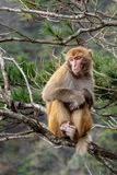 A adult monkey is sitting on a bough. On a cloudy day in a forest with some trees in the background stock photos