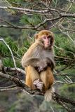 A adult monkey is sitting on a bough. On a cloudy day in a forest with some trees in the background stock images
