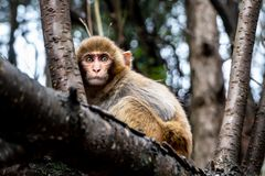 A adult monkey is sitting on a bough. On a cloudy day in a forest with some trees in the background royalty free stock photo