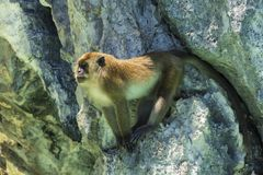 Adult monkey sitting on the cliff and guarding the pack stock image