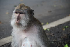 Adult Monkey, Ubud , Indonesia. Ubud Monkey Forest is a small rain forest dwelt by some group of monkeys and other tropical animals Stock Photography