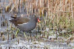 Winter Bird. An Adult Moorhen on a Frozen Lake Stock Images