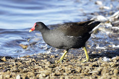 An adult Moorhen(Gallinula chloropus) foraging beside a lake. Royalty Free Stock Photography