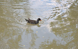 Adult Moorhen. Stock Photography