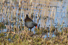 Adult Moorhen Royalty Free Stock Photo