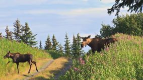 Adult moose and calf crossing country road stock video footage