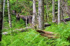 Adult moose with large velvet rack royalty free stock images