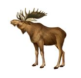 Adult Moose standing. Side view vector illustration