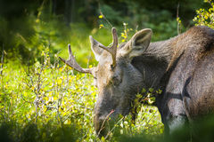 Adult Moose in the Wild Royalty Free Stock Photography