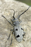An adult of Morimus funereus, longhorn beetles Stock Photo
