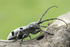An adult of Morimus funereus, longhorn beetles Stock Photography