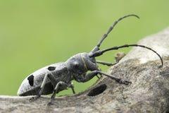 An adult of Morimus funereus, longhorn beetles Stock Photography