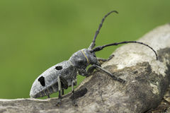 An adult of Morimus funereus, longhorn beetles Stock Images
