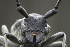An adult of Morimus funereus, longhorn beetles Royalty Free Stock Photo