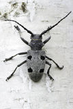 An adult of Morimus funereus longhorn beetles Royalty Free Stock Photography
