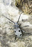 An adult of Morimus funereus longhorn beetles Royalty Free Stock Images