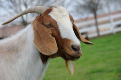 Adult Mother Goat. Portrait of Mother Goat Grazing in a Pasture Royalty Free Stock Photo