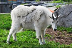 Adult Mountain Goat Royalty Free Stock Images