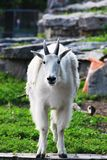 Adult Mountain Goat Royalty Free Stock Photography
