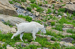 Adult Mountain Goat feeds off green grass. Royalty Free Stock Photo