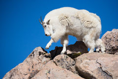 Adult mountain goat walking in rocky mountain terrian Royalty Free Stock Images