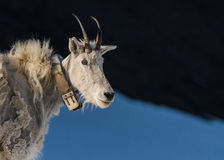 Adult Mountain Goat Wearing Research Collar with Copy Space. To right Royalty Free Stock Images
