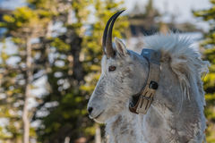 Adult Mountain Goat Wearing Research Collar. Turned to the left Stock Photos