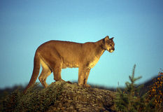 Adult mountain lion. Perched on a ridge alone Royalty Free Stock Image