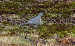 Adult mourning dove Royalty Free Stock Images