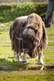 Adult Musk Ox. Vertical Composition of Single Adult Musk Ox Drinking at Small Watering Hole Royalty Free Stock Images