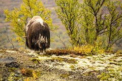 Adult muskox in Dovrefjell National Park, Norway Royalty Free Stock Image