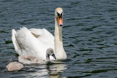 Adult mute swan and cygnets stock photo