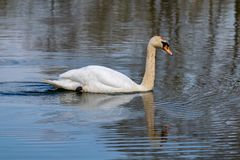Adult mute swan cygnus olor with discoloured feathers from disturbing lake sediment during feeding. Reflection on still lake water royalty free stock photography