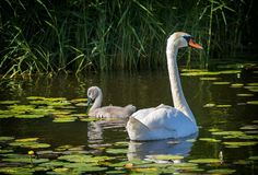 Adult mute swan and its young chick Stock Image