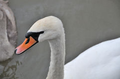 Adult Mute swan. Royalty Free Stock Photography