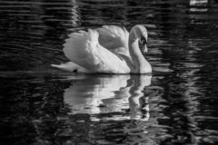 Black and white image of adult swan and reflection stock photos