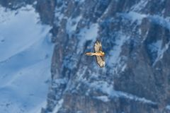 Adult bearded vulture gypaetus barbatus flying, rocks, snow, w stock photos