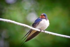 Adult nestling barn swallows Hirundo rustica Royalty Free Stock Photos