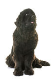 Adult newfoundland dog. In front of white background royalty free stock images