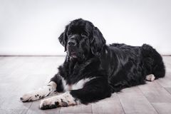 Adult Newfoundland dog. Adult Newfoundland in studio by the fireplace stock photography