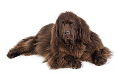 An adult Newfoundland terrier rescue / show dog. High key portrait of an adult Newfoundland terrier rescue / show dog, on a white background Royalty Free Stock Photo