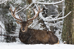 An adult noble deer with large horns covered with snow, resting in a snow-covered forest.The big deer lies on the snow and looks Stock Images