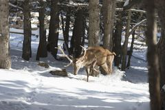 Noble deer in the winter forest royalty free stock photos