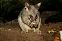 Adult nocturnal opossum feeding in australia Stock Images