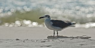 Laughing Gull at Water's Edge. Adult non-breeding laughing gull is sprayed with sand on Florida`s gulf coast royalty free stock images