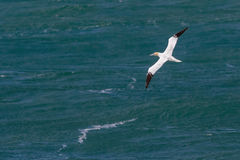 An adult Northern Gannet, Morus bassanus Royalty Free Stock Images